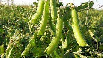 Las legumbres se posicionan como una alternativa a la carne y crece la demanda en los millennials