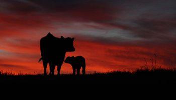 La ganadería vive una revolución como la de la agricultura en los 90