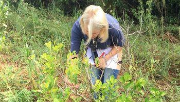 Senasa monitorea plantaciones de yerba mate para detectar el mal de la tela