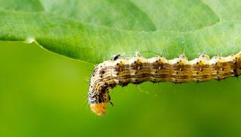 Llega una solución eficaz ante los primeros reportes de plagas en soja