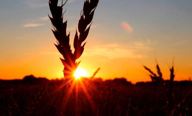 Fuerte caída en la producción de trigo.