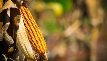 NEA y Patagonia: los robustos clusters productivos que se pueden desarrollar con maíz