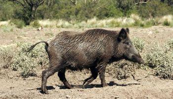 Buscan reducir la población de cerdos silvestres en territorio bonaerense