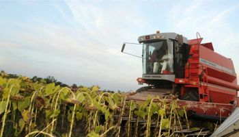 Ya se trillaron 331 mil hectáreas de girasol