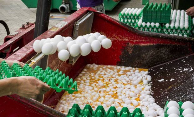 Trabajadores desechan huevos sospechosos de estar contaminados.