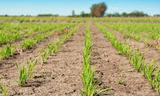 La producción de arroz en Argentina viene cayendo año a año.