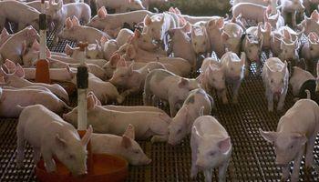 Entre Ríos: por primera vez en el año mejoró el precio del productor de cerdo