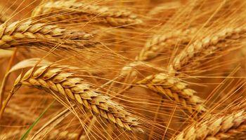 Trigo: el mejor negocio de los cultivos