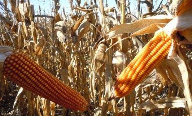 El mercado a punto de eliminar las retenciones en maíz