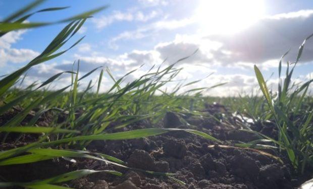 Trigo argentino está en buen estado; algunas zonas necesitan lluvias
