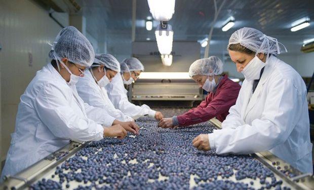 El 95% del total producido de los arándanos argentinos se exporta como fruta fresca.