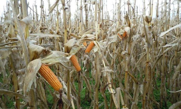 Destacan los rindes del maíz tardío en la zona núcleo.