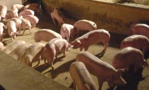 Avanzan en detección de la triquinosis en cerdos vivos