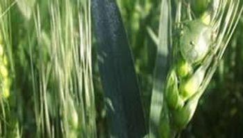 Se registran ataques de chinche verde en cultivos de trigo