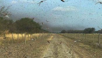 Emergencia por la plaga de langosta: los principios activos autorizados para el control