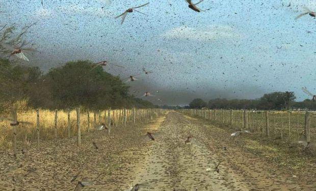 El daño potencial sobre cultivos de importancia agrícola determina la necesidad de control de la langosta y la tucura.