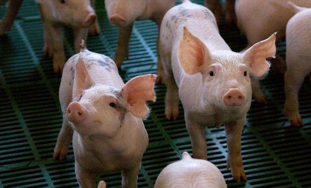 Eficiencia, escala de producción y gestión: los principales desafíos del sector porcino
