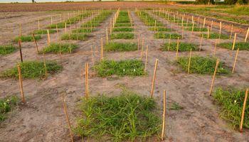Descubrieron cómo hacer pasturas más digeribles y su tecnología llegó a Australia