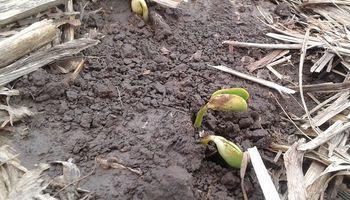 Desarrollan un bioprotector de semilla que preserva y acelera la emergencia de la soja