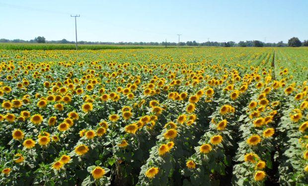 Plantas de girasol sembradas a una densidad 2 ó 3 veces más alta que la de un cultivo comercial pueden detectar a sus vecinas inmediatas.