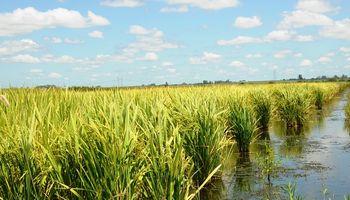 Santa Fe: cayó el área de siembra de arroz y el maíz avanza a buen ritmo