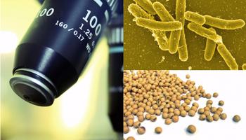 Un compuesto extraído de la cascarilla de soja actúa contra la bacteria Salmonella