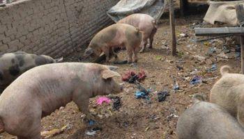 Córdoba: detectaron un establecimiento porcino en malas condiciones y se realizó una faena sanitaria