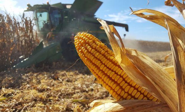Se espera una cosecha de 55 millones de toneladas de maíz.