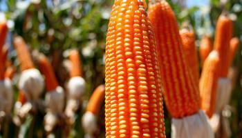 El maíz flint argentino, el más valorado por la industria de molienda seca
