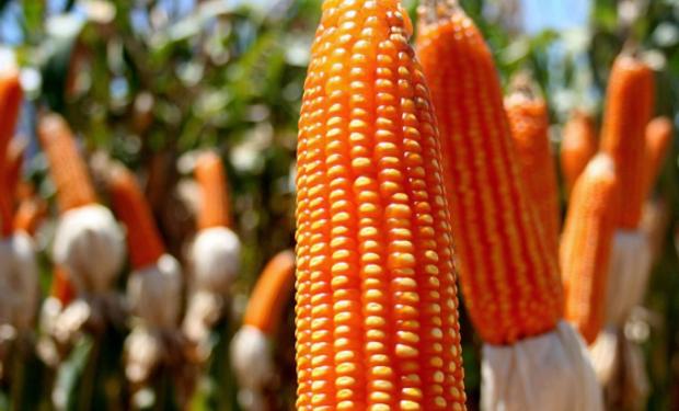Para la molienda seca el maíz flint es clave.