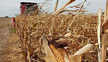 La cosecha de maíz muestra buenos rendimientos, mientras que la soja tiene problemas de calidad