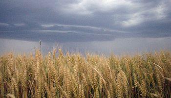 El trigo tocó mínimo de últimos 19 meses