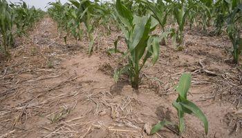 Maíz, trigo y girasol: cómo quedó la condición de los cultivos luego de las últimas lluvias