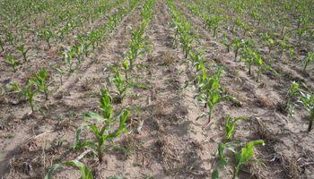 Maíz: ya se sembraron más de 1,8 millones de hectáreas de la nueva campaña