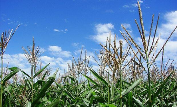 El maíz y el trigo siguen en caída por la falta de lluvias