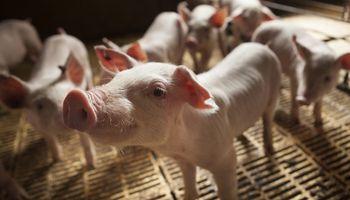 Mataron a golpes a cinco cerdos en un campo de Santa Fe y no se los llevaron