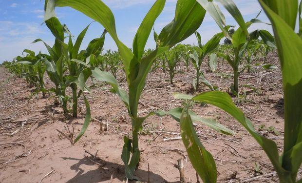Se espera un aumento del 3,3 % en el área destinada a maíz, cuando hasta hace poco el porcentaje era del 6,7%.