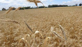 El margen bruto del trigo cayó un 30% en dólares contra la campaña anterior