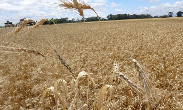 El rinde nacional del trigo 2019/20 fue de 29,2 qq/Ha.