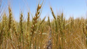 """""""Tensión"""" para el trigo: compromisos récord se combinan con una oferta rezagada"""