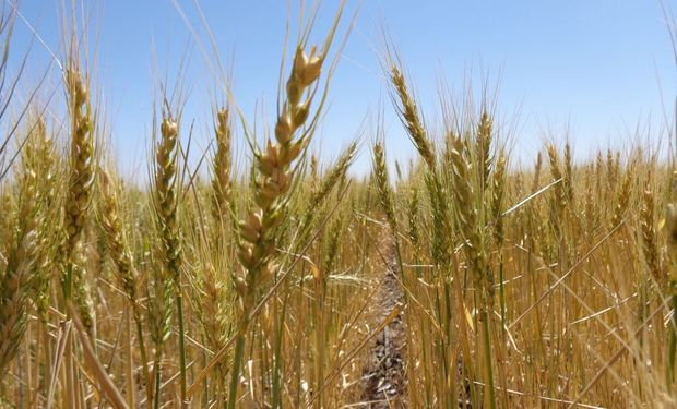 Empalme ajustado de cosechas para el trigo.
