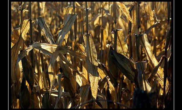 Fuerte crecimiento de la producción entrerriana de maíz