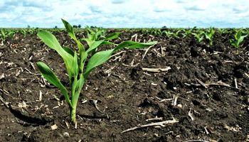 Por la falta de agua recortan estimaciones de siembra de maíz y girasol