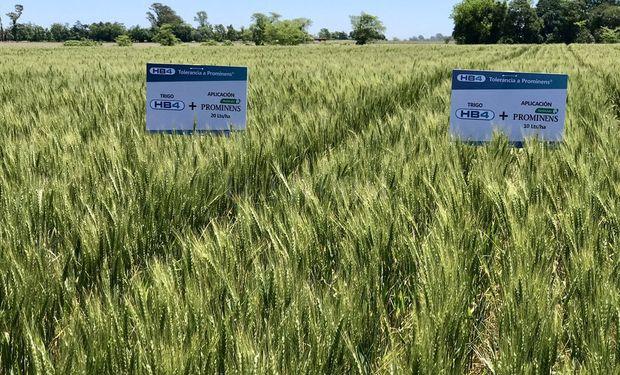 """""""Bioceres avanza con la desregulación del trigo HB4® en Brasil"""", resalta el comunicado difundido recientemente."""