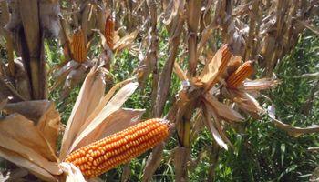 Los cuadros tempranos de maíz muestran rindes por encima del promedio histórico