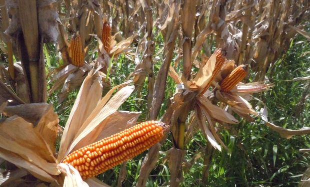 Avanza la cosecha de maíz temprano.