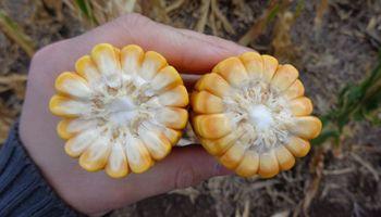 """El maíz sumó 2 millones de toneladas y ahora se espera una """"supercampaña"""""""