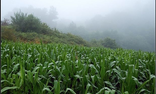 Strategie Grains recorta pronóstico de cosecha de maíz de UE