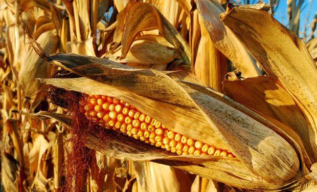 Bajas para soja y maíz en Chicago: cuánto pagaron en el mercado de Rosario