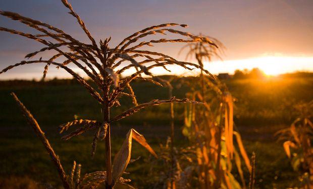 El maíz registra leves subas en Chicago.